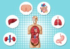 Human anatomy with different organs. Illustration Royalty Free Stock Photos