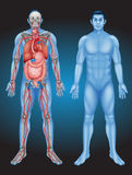 Human anatomy with different organs Stock Photography