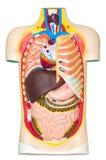 Human anatomy dummy. Plastic layout of human anatomy Stock Photos