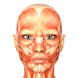 Human Anatomy - Face Royalty Free Stock Images