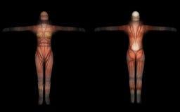 Free Human Anatomy -Female Muscles Stock Photos - 64019123