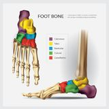 Human Anatomy Foot Bone. Vector Illustration Stock Photography