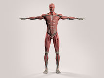 Human anatomy with front view of full body. Showing muscular system, vascular system and skin on a stylish white background Stock Photos