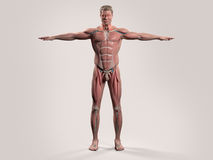 Human anatomy with front view of full body. Showing muscular system, vascular system and skin on a stylish white background royalty free stock photos
