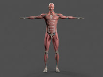 Human anatomy with front view of full body . Human anatomy with front view of full body showing skeletal system and skin on a stylish grey background Royalty Free Stock Image