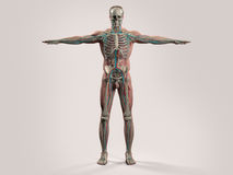 Human anatomy with front view of full body . Human anatomy with front view of full body showing skeletal system and skin on a stylish white background Royalty Free Stock Photo