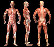 Human anatomy full body muscles Royalty Free Stock Photos