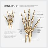 Human Anatomy Hand Bone. Vector Illustration Stock Photos