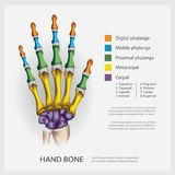 Human Anatomy Hand Bone. Vector Illustration Royalty Free Stock Photography