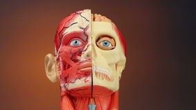 Human Anatomy - HD. Human Anatomy - The muscles, blood vessels, bones and brain in the human head stock footage