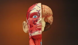 Human Anatomy - HD. Human Anatomy - The muscles, blood vessels, bones and brain in the human head stock video