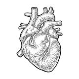 Human anatomy heart. Vector black vintage engraving illustration. Isolated on a white background. For web, poster, info graphic royalty free illustration