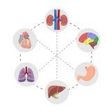 The human anatomy Stock Image