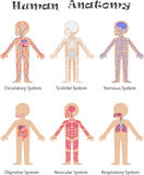 Human anatomy royalty free illustration