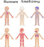 Human anatomy for kids royalty free illustration