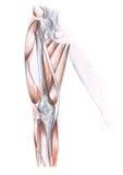 Human anatomy - the leg Stock Photo