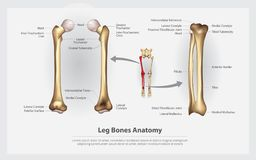 Human Anatomy Leg Bones with Detail. Vector Illustration stock illustration