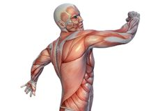 Human Anatomy - Male Muscles. 3D illustration. royalty free illustration