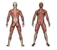 Human Anatomy - Male Muscles. Made in 3d software Stock Photography
