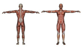 Human Anatomy - Male Muscles. Made in 3d software Stock Images