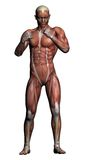 Human Anatomy - Male Muscles Royalty Free Stock Image