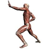 Human Anatomy - Male Muscles Stock Photos