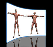 Human Anatomy - Male Muscles Royalty Free Stock Photography