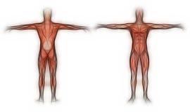 Human Anatomy - Male Muscles Royalty Free Stock Photo