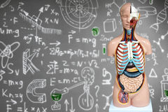 Human anatomy mannequin on the background of chemical formulas stock image