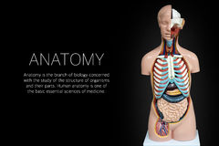 Human anatomy mannequin on black background stock image