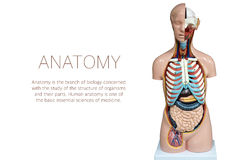 Human anatomy mannequin isolated on white background royalty free stock photography