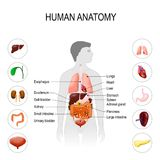 Human anatomy. Medical poster. With internal organs on white background. silhouette of a man. vector illustration. easy to edit Stock Images