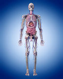 The human anatomy. Medically accurate illustration of the human anatomy stock illustration