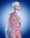 The human anatomy Royalty Free Stock Photo