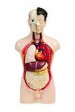 Human anatomy model. Plastic human anatomy model, isolated on white royalty free stock image