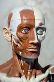 Human anatomy model. Human medical anatomy head model Stock Images