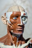 Human anatomy model. Human medical anatomy head model royalty free stock photos
