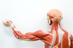 Human anatomy model. For education stock photography