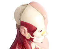 Human anatomy model used in Health care Royalty Free Stock Photography