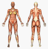 Human Anatomy - Muscle System - Female. 3D render depicting the muscles - female body. Anatomically accurate Stock Image