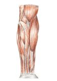 Human anatomy - muscles of the arm Royalty Free Stock Photo