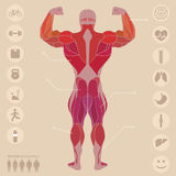 Human, anatomy, muscles, back, sports, fitness, medical,  Royalty Free Stock Photo