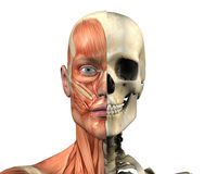 Human Anatomy - Muscles and Skull - with clipping path Stock Image