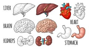 Human anatomy organs. Brain, kidney, heart, liver, stomach. Vector engraving. Human anatomy organs. Brain, kidney, heart, liver, stomach. Vector color and royalty free illustration