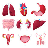 Human Anatomy Organs with Heart, Stomach and Kidneys. Medical illustration Royalty Free Stock Images