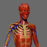 Human Anatomy passport with muscles Royalty Free Stock Photo