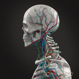 Human anatomy porcelain skeleton side view with veins on dark background. Royalty Free Stock Image