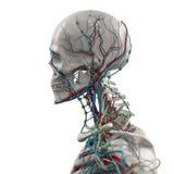 Human anatomy porcelain skeleton side view with veins on plain white background. Stock Photos