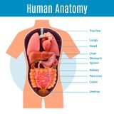 Human Anatomy Poster. With body organs names realistic vector illustration Royalty Free Stock Photos