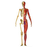 Human Anatomy. Is primarily the scientific study of the morphology of the human body. Anatomy is subdivided into gross anatomy and microscopic anatomy ( Stock Photo